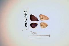 WT-12-P040 Zizeeria knysna (lepdatabase) Tags: kenya knysna lycaenidae polyommatinae polyommatini zizeeria
