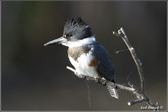 Belted Kingfisher (20121001-0560) (Earl Reinink) Tags: ontario canada art nature birds photography nikon flickr photographer image images kingfisher earl flikr d4 art bird nikon photography images birds nature lens ontario canada fine earl photographer lenses niagara kingfisher reinink reinink belted d4 niagara