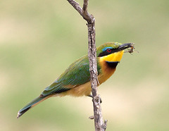Little Bee Eater (William  Dalton) Tags: africa serengeti beeeater africanbirds littlebeeeater meropspusillus bushtops slbfeedingserengetiafrica