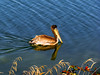 Brown Pelican 4 (AndrewJSmith) Tags: freedomtosoarlevel3birdphotosonly freedomtosoarlevel3birdsonly freedomtosoarlevel3birsdonly