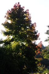 Amberbaum (Liquidambar styraciflua); Lingen, Laxten (121) (Chironius) Tags: morning autumn trees tree germany deutschland dawn rboles alba herbst herfst boom arbres rbol alemania otoo albero autunno bume allemagne arbre rvore morgen baum hst trd germania ochtend matin  emsland mattina lingen jesie aube  aa niedersachsen  morgendmmerung  morgengrauen  dageraad    efterret