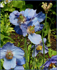 June: Meconopsis past their best but still beautiful (ronmcbride66) Tags: garden bee poppy bluepoppy meconopsis supershot sunrays5