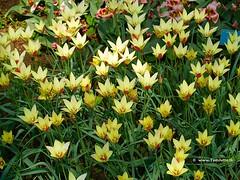 Dutch Tulips, Keukenhof Gardens, Holland - 0661 (HereIsTom) Tags: travel flowers flower holland nature netherlands dutch garden spring europe colours tulips sony cybershot olympus tulip bloom keukenhof webshots e500 f505