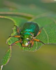 Mimela splendens (aeschylus18917) Tags: macro green nature japan forest insect nikon beetle  coleoptera insecta  scarabaeidae rutelinae   yamanashiken yamanashiprefecture polyphaga scarabaeoidea d700 mimelasplendens mimela  scarabaeiformia nikond700 rutelini danielruyle aeschylus18917 danruyle druyle   anomalina dupledit