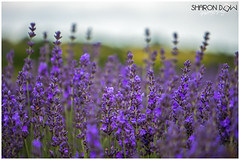 Lavender Bokeh (Lavandula) (Sharon Dow Photography) Tags: uk england plant color colour nature beautiful field lines nikon europe pretty westsussex bokeh britain sleep ngc lavender peaceful crop smell oil growing farmer annual colourful shrubs naturalworld southdowns perennial chichester scented lamiaceae 2016 herbaceous lavandula mintfamily leadingline lamiales lavenderfield lordington subshrubs d7100 nepetoideae lavendercolour smallshrubs lavanduleae mailette lordingtonlavender nikond7100 shrublikeperennials sharondowphotography july2016 po189dx lordingtonfarm mailettelavender shortlivedherbaceousperennialplants andrewelms