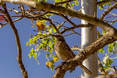 Angry Bird (rod.hokpicture) Tags: wood plant bird planta nature animal nikon natureza galhos passáro d3100