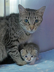 Mama & Babies_01 (AbbyB.) Tags: mtpleasantanimalshelter easthanovernj newjersey shelter pet rescue adopt petphotography shelterpet cat kitten momandkittens babies kitty