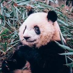 Smiling Panda (danielkimaniz) Tags: chengdu sichuan china research base giant panda breeding smiling