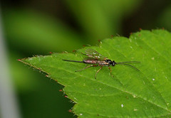 2016_07_0103 (petermit2) Tags: dyspetespraerogator ichneumonwasp parasiticwasp ichneumon dyspetes wasp oldmoor dearnevalley barnsley rotherham southyorkshire yorkshire rspb