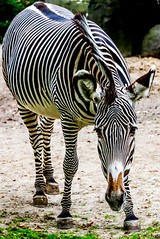 Grvy's zebra (jforberg) Tags: 2014 berlin zoo zebra animal animalplanet beautiful care jonforberg germany stripes kenya ethiopia