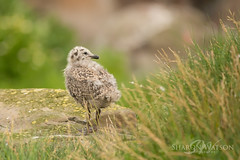 Scotland-Northumberland holiday 2016-301 (Sharon Watson Photo) Tags: northumberland farne islands wildlife seagull gull chick kittiwake