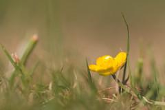 Buttercup (oandrews) Tags: buttercup canon canon70d canonuk flora floral flower garden nature outdoors petals plant ranunculus ranunculusficaria yellow