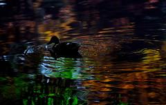 sapporo 398 (kaifudo) Tags: sapporo hokkaido japan formerprovincialofficeredbrickfrontofthepond reflection mallardduck nikon d750 nikkor afs 70200mmf28gedvrii 70200mm       nature bird