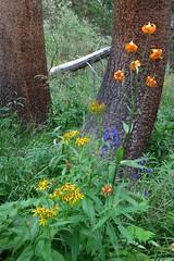 Lilium kelleyanum, SIERRA LILY (openspacer) Tags: inyonationalforest johnmuirwilderness aconitum asteraceae groundsel lilaceae lilium lily monkshood ranunculaceae senecio