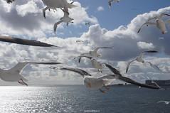 DSC07170 (ZANDVOORTfoto.nl) Tags: seagull seagulls meeuwen birds wildlife animals zeevogels seabirds flying zeemeeuw zeemeeuwen texel