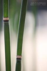 bamboo (event-photos4dreams (www.photos4dreams.com)) Tags: bambus bamboo photos4dreams p4d eventphotos4dreams eventphotos4dreamz susannahvvergau photos photo photography nature plants blumen blume flower flowers macro makro