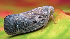 Metcalfa pruinosa citrus flatid planthopper (Tibor Nagy) Tags: insect metcalfa pruinosa citrus flatid planthopper closeup flash diffused diffuser softbox bug