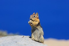 Golden-mantled Ground Squirrel (Callospermophilus lateralis) (Camden S. Bruner) Tags: craterlakenationalpark klamathcounty or oregon callospermophiluslateralis goldenmantledgroundsquirrel