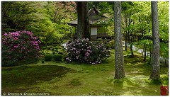 Jakunage flower season in Sanzen-in temple (Kyoto) (Damien Douxchamps) Tags: japan  japon kansai  kinki  kyoto  ohara oohara   temple     moss  jakunage  rhododendron aomomiji  greenmaple springfoliage japanesegarden
