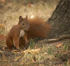 By the tree (hedera.baltica) Tags: squirrel redsquirrel eurasianredsquirrel wiewirka wiewirkapospolita sciurusvulgaris