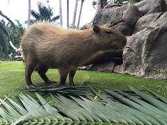 Tenerife 188 (Udo Schrter) Tags: capybara teneriffa zoo