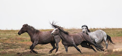 Wild Horses Roosevelt National Park (overthemoon3) Tags: rooseveltnationalpark wildhorses wildlife nature wildwest northdakota wildlifephotographer