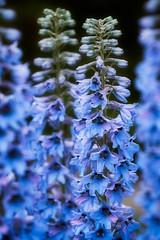 Delphinium Bloom (Erik Pronske) Tags: alberta fairmontbanffspringshotel canadianrockies canada bloom delphinium banff banffnationalpark