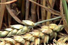 Harvest corn (YU-bin) Tags: harvestcorn plant food corn harvest nature publicdomain starch