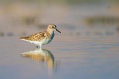 Least Sandpiper (RawComposition) Tags: bird birding nikon nikon500f4 california summer sandpiper water shorebird evening desert sanjacinto