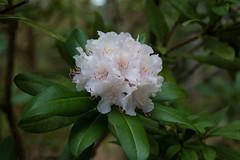 IMG_0599 (gsreejith) Tags: spring springblossom blossom flowers breenholdgardens mountwilson mtwilson nsw visitnsw