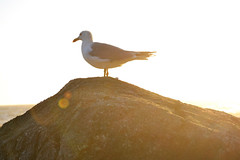 (Aqu y ahora.) Tags: light luz bokeh sun sol sunset silhouette silueta animal gaviota portrait travel beach viajar