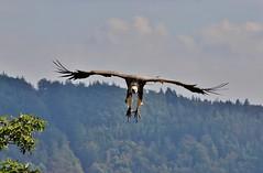 here he comes (Hugo von Schreck) Tags: geier bird vulture vogel hugovonschreck outdoor canoneos5dsr tamronsp150600mmf563divcusda011 germany waldeck edersee ngc