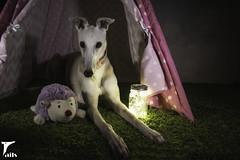 Evening Magic -- Explored (houndstooth4) Tags: dog greyhound bunny dogchal ddc odc 52weeksfordogs 3752