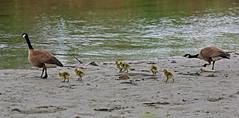 Lesser Canada Goose, Potter Marsh, Anchorage, Alaska (Terathopius) Tags: alaska usa lessercanadagoose pottermarsh anchorage anchoragecounty brantacanadensisparvipes brantacanadensis
