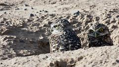 Burrowing Owls (Athene cunicularia); Los Lunas, NM [Lou Feltz] (deserttoad) Tags: nature newmexico bird wildbird wildlife raptor owl desert behavior migration