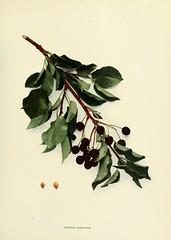 n112_w1150 (BioDivLibrary) Tags: fruitculture newyorkstate prunuscerasus rosaceae newyorkbotanicalgardenluesthertmertzlibrary bhl:page=15335885 dc:identifier=httpbiodiversitylibraryorgpage15335885