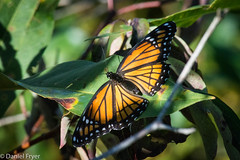 Spread Your Wings (danfryer2) Tags: conservationarea holidaybeach monarch naturewalk nikond7200 butterfly nature