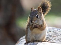 A peanut for his portrait... :)    Explored! :) (Paridae) Tags: squirrel squirrelsoflillooet pinesquirrel redsquirrel chickaree tamiasciurushudsonicus mammalsofbritishcolumbia mammalsoflillooet setonlake afewofmyfavouritethings canoneos7d