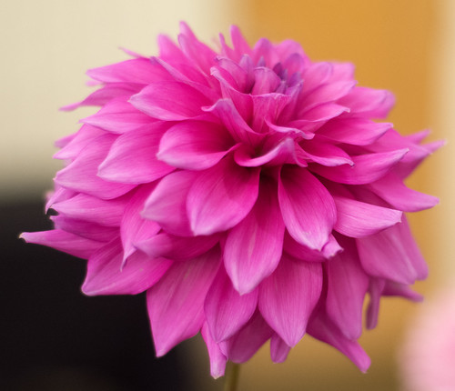 037Dahlia Festival Albuquerque Garden Center September 25.2016 Dick Thompson DSC_84319