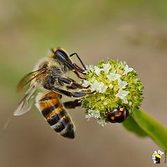Macro (Marcelo Seixas) Tags: macro abelha joaninha roraima brasil amazonia amazon inceto voador polonizao hymenoptera apoidea anthophila mel cera prpolis geleiareal bee ladybug brazil insect pollination flying wax royaljelly