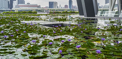a bit of colour (Roger Foo) Tags: marinabaysands waterlilies artsciencemusuem singapore waterfeature
