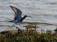 Curlew taking flight (djm4_photos) Tags: birds curlew fauna