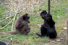 DSC_6456 (lostinbeta) Tags: philadelphia zoo animals black headed blackheaded spider monkey