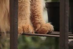 paws (deadoll) Tags: cats cute love cat canon fur amber ginger paw furry kat feline chat amor kitty kittens redhead caramel patas 7d gata felinos felino felines neko katze paws fofo gatto babys gatti pur ruiva gingercat gatas tigrado caramelo adoreble gatotigrado canon7d
