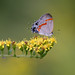 hairstreak_9234