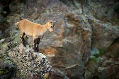 Where is my mommy? (Francy_93) Tags: wild alps animals forest montagne is estate little mommy where mia mamma piccolo alpi animali ibex foresta neonato stambecco selvaggi dov