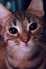frida (*Treppenwitz*) Tags: pet cute animal lensbaby cat canon nose rebel eyes texas kitty houston whiskers pasadena xsi