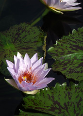 PP52 (TexasPhotoShop) Tags: flower water pond texas waterlily lily tx tropical bloom waterlillies hardy sanangelo nymphaeaceae