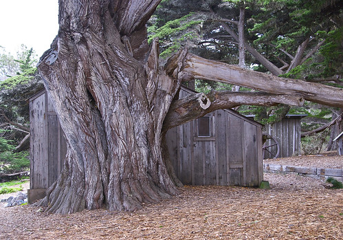 Monterey Cypress at Whaler's Cove, Point Lobos State Natural Reserve, Monterey County, California