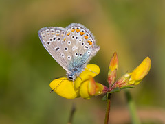 Silver-studded Blue, heideblauwtje  (Plebejus argus) (Roland B43 (off until the 29th of May)) Tags: silverstudded blue heideblauwtje butterfly nature insects belgium mygearandme mygearandmepremium mygearandmebronze unlimitedinsectslevel1 thegalaxy mygearandmesilver mygearandmegold mygearandmeplatinum mygearandmediamond flickrstruereflection2 flickrstruereflection3 flickrstruereflection1 allofnatureswildlifelevel1 flickrstruereflection4 allofnatureswildlifelevel2 allofnatureswildlifelevel3 allofnatureswildlifelevel4 flickrstruereflectionlevel7 flickrstruereflectionlevel6 flickrstruereflectionlevel5 allofnatureswildlifelevel5 rememberthatmomentlevel1 flickrsfinestimages1 rememberthatmomentlevel2 flickrsfinestimages2 flickrstruereflection7 allofnatureswildlifelevel6 flickrstruereflection6 flickrstruereflection5